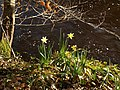 Daffodils by the Teign - geograph.org.uk - 1199984.jpg