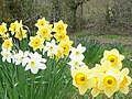Daffodils near Silver Wood - geograph.org.uk - 749527.jpg