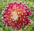 "Dahlia - ""Akita"" cultivar.pjg.jpg"