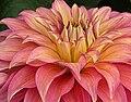 """Dahlia - """"Barry Williams"""" cultivar.jpg"""
