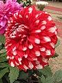 Dahlia - Indian Botanic Garden - Howrah 2012-01-29 1780.JPG