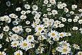 Daisies at Ventnor Botanic Garden.JPG