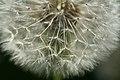Dandelion Comb (2596726169).jpg