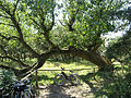 Darßer Ort - gefallener Baum.jpg