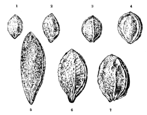 Damson - Comparison of plum stones: Shropshire damson shown top row, second from left (no. 2). From Charles Darwin's Variation of Animals and Plants under Domestication