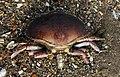 Dead crab in Swansea.jpg