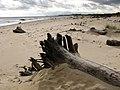 Dead trees of Easton Wood - geograph.org.uk - 2132953.jpg