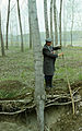 Deep planting of hybrid poplar cuting (demonstration).jpg