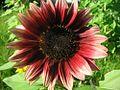 Deep red sunflower.jpg
