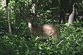 Deer lunch.jpg