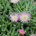 Delosperma harazianum-IMG 1611.jpg
