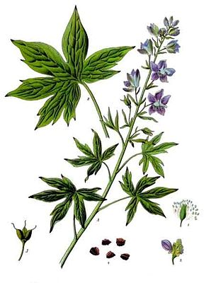 Stephanskraut (Delphinium staphisagria), Illustration