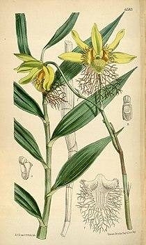 Dendrobium brymerianum.jpg
