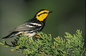 Golden-cheeked warbler - Image: Dendroica chrysoparia 1