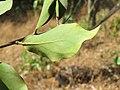 Dendrophthoe falcata var. falcata - Honey Suckle Mistletoe at Blathur 2017 (15).jpg