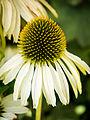 Der Sonnenhut, lat. Echinacea 01.jpg