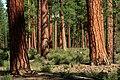 Deschutes National Forest, old growth ponderosa pine stand (36951204461).jpg