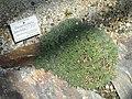 Deuterocohnia brevifolia - Botanischer Garten München-Nymphenburg - DSC07917.JPG