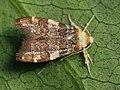 Deuterogonia pudorina (41123106412).jpg