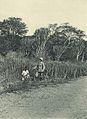 Deutsch-Ostafrika, Zentrales Steppengebiet (Busse) - Tafel 41 - Bestand von Sansevieria longiflora Sims.jpg