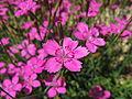 Dianthus glacialis4.jpg