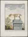 Dicotyles torquatus - skelet - 1700-1880 - Print - Iconographia Zoologica - Special Collections University of Amsterdam - UBA01 IZ21900237.tif