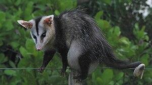 White-eared opossum - Image: Didelphis albiventris, Bahia, Brazil