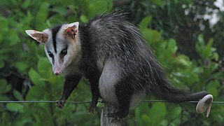 White-eared opossum species of mammal