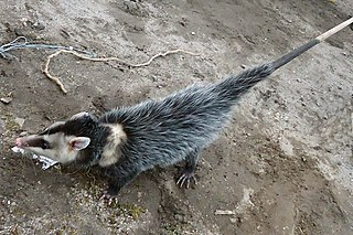 Andean white-eared opossum species of mammal