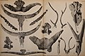 Die Pithecanthropus-Schichten auf Java. Geologische und paläontologische Ergebnisse der Trinil-Expedition (1907 und 1908), ausgeführt mit Unterstützung der Akademischen Jubiläumsstiftung der Stadt (20753735290).jpg