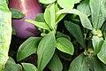 Dieffenbachia Sparkles 1zz.jpg