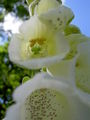 Digitalis-stora hultrum.sweden-30.jpg