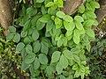 Dioscorea sp 25.jpg
