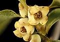 Diospyros virginiana, Persimmon staminate flower, Howard County, MD, Helen Lowe Metmzn 2017-06-17-14.19 (25526468778).jpg
