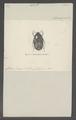 Discopeltis - Print - Iconographia Zoologica - Special Collections University of Amsterdam - UBAINV0274 022 06 0017.tif