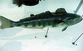 Dissostichus mawsoni.jpg
