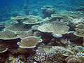 Diving Maldives, 2009 - Corals.jpg