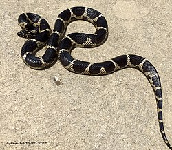 Dixie County Florida Kingsnake.jpg