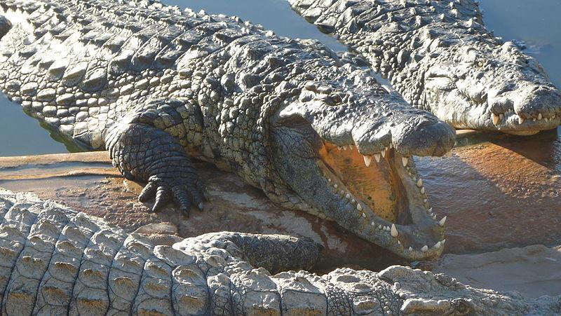 http://upload.wikimedia.org/wikipedia/commons/thumb/b/b7/Djerba-crocodiles-kleche.jpg/800px-Djerba-crocodiles-kleche.jpg