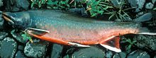 Photo of adult Dolly Varden trout in spawning colors
