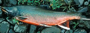 Dolly Varden trout - Dolly Varden trout (S. m. malma) in spawning coloration