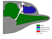 Idealized dolphin head showing the regions involved in sound production.