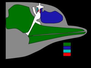 Esquema de una cabeza de delfín mostrando las regiones involucradas en la producción de sonido. Esquema rediseñado a partir de  Cranford (2000).