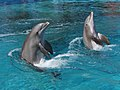 Dolphins 4 (15563286495).jpg
