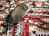 Domestic-rabbit-Lilly-resting-0b.jpg