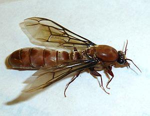 Alate - Dorylus male alate