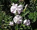 Double flowered Soapwort (Saponaria officinalis), Bennane Head, South Ayrshire9.jpg