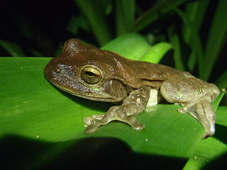 Veragua cross-banded tree frog Species of amphibian