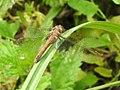 Dragonfly (21475672694).jpg