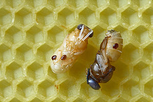 Two drone pupae of the Western honey bee with ...